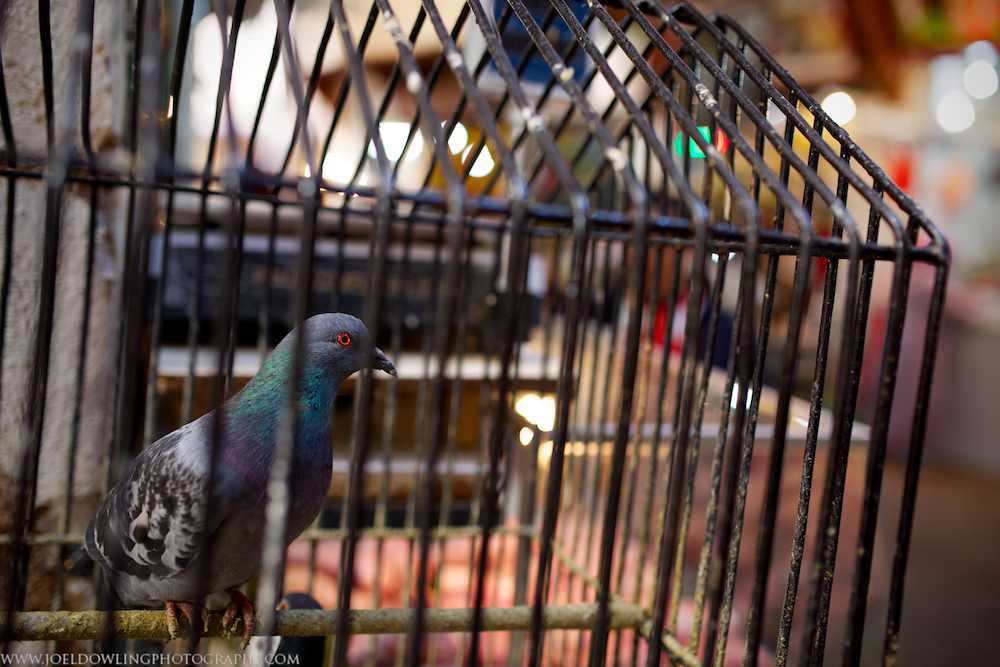 A caged squab in the wet market section of the medina - Fes, Morocco.