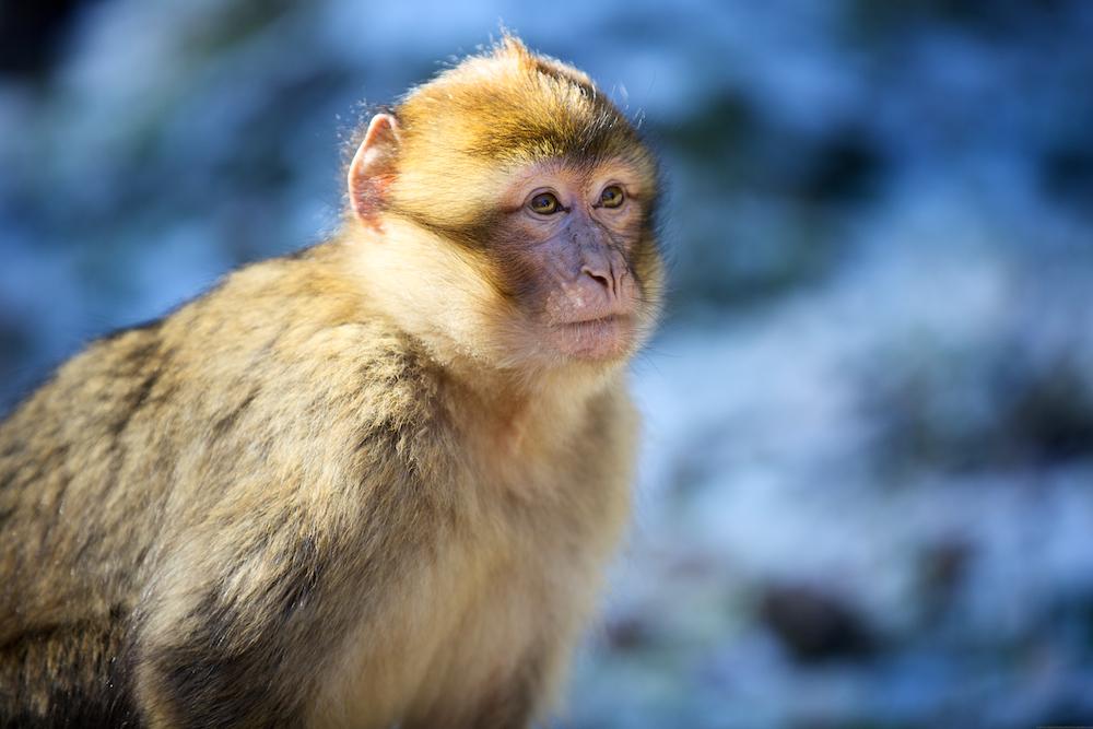 A Barbary ape in the cedar forest.  Azrou, Morocco.