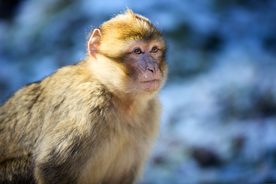 A Barbary ape in the cedar forest.  Azrou, Morocco.
